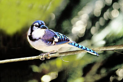 Photograph - American Blue Jay On Alert by Kay Brewer