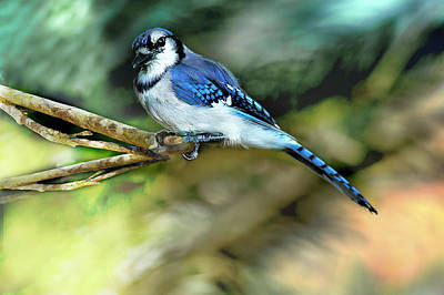 Photograph - American Blue Jay Perching by Kay Brewer