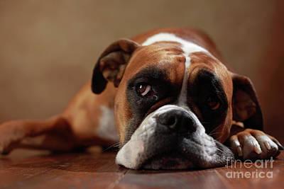 American Boxer Dog Art Print by Jana Behr
