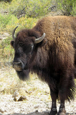 Photograph - American Buffalo Bull by Frank Townsley