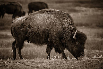 Photograph - American Buffalo Grazing by Chris Bordeleau