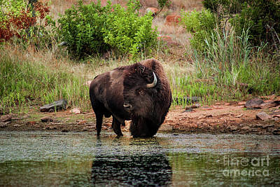 American Bull Bison Creekside Art Print by Robert Frederick