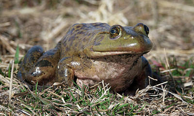 Photograph - American Bullfrog by Nikolyn McDonald