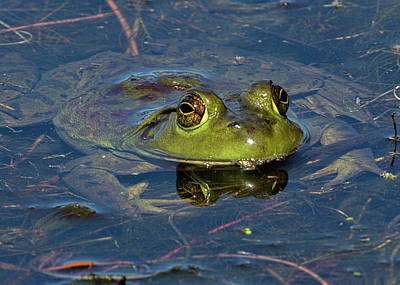 Photograph - American Bullfrog Peeking Out Of The Water by Ron Grafe