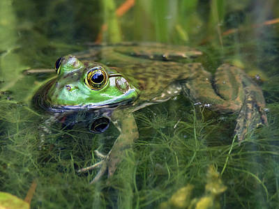 Photograph - American Bullfrog by Tam Ryan