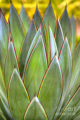 Photograph - American Century Plant Spiked Aloe Succulent  by David Zanzinger
