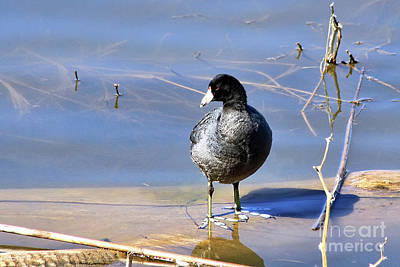 Photograph - American Coot by Teresa Zieba