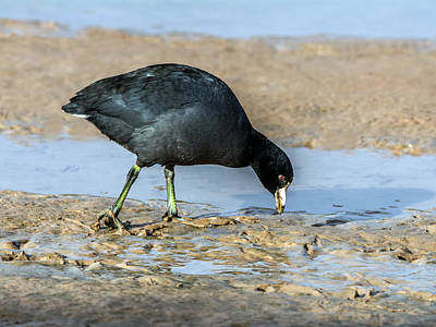 Photograph - American Coot 0992 by Tam Ryan