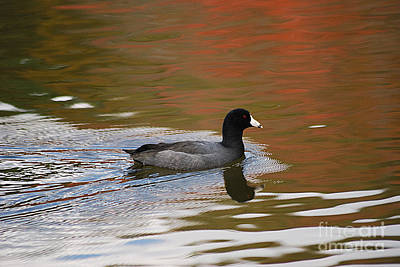 Photograph - American Coot 20131030_68 by Tina Hopkins