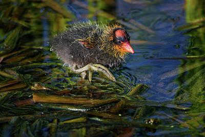 Photograph - American Coot Chick by Debra Martz