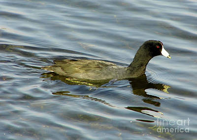 Photograph - American Coot by D Hackett