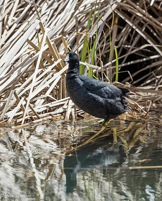 Photograph - American Coot by Dee Carpenter