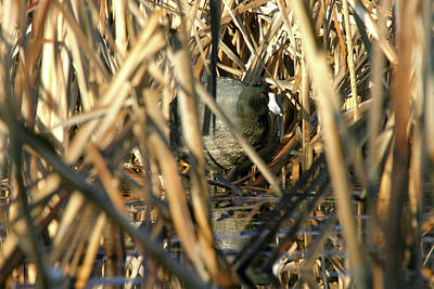 Photograph - American Coot In Cattails, Tule Lake Nwr, California by Robert Mutch