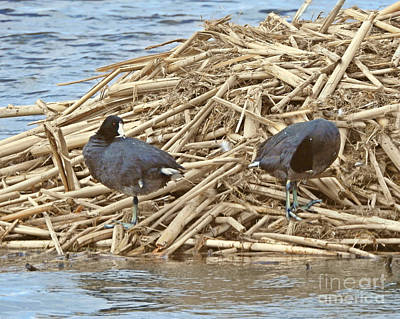 Photograph - American Coot by Kathy M Krause