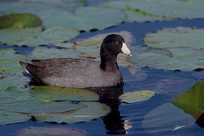 Panama City Beach Photograph - American Coot by Phil Jensen