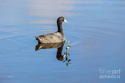 Photograph - American Coot by Rene Triay Photography