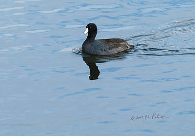Photograph - American Coot Swiming 2 by Edward Peterson