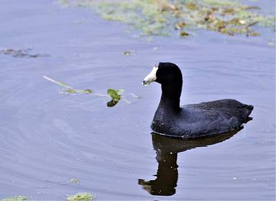 Photograph - American Coot by Warren Thompson