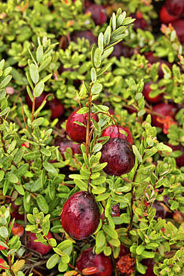 Photograph - American Cranberry by Kristia Adams