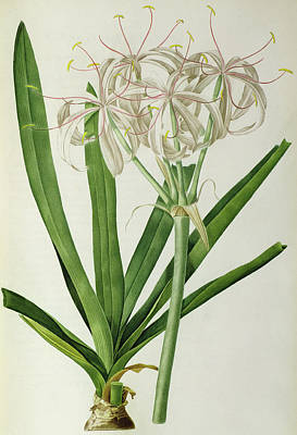 Spring Bulbs Drawing - American Crinum Lily by Pierre Joseph Redoute