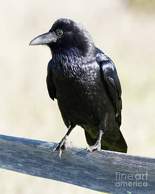Photograph - American Crow At Point Reyes National Seashore California 5dimg9286 by Wingsdomain Art and Photography
