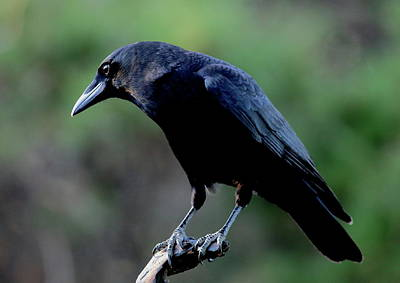 Photograph - American Crow In Thought by Daniel Reed