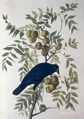 Orange Drawing - American Crow by John James Audubon