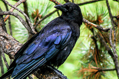 Photograph - American Crow by Marilyn Burton