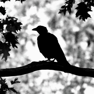 Photograph - American Crow Silhouette by Ken Stampfer