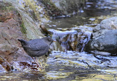 American Dipper Art Print by Angie Vogel
