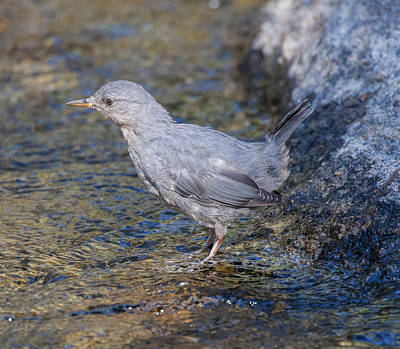 Photograph - American Dipper by Melinda Fawver