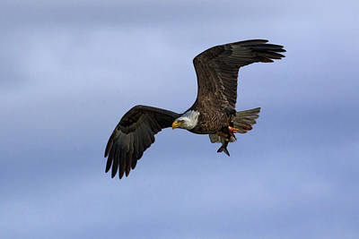 Photograph - American Eagle 2 by Susan Rissi Tregoning