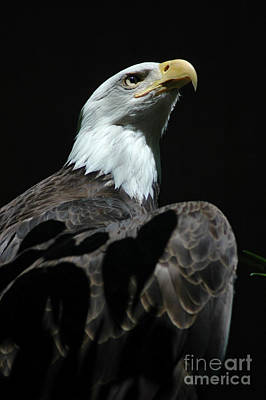 Photograph - American Eagle by Mark Gilman