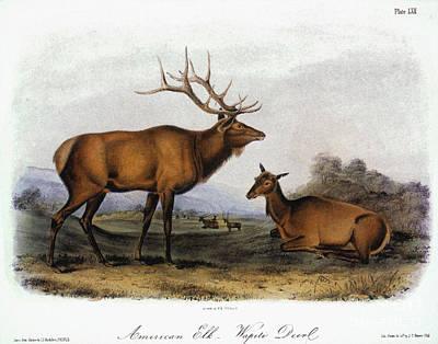 1846 Photograph - American Elk, 1846 by Granger