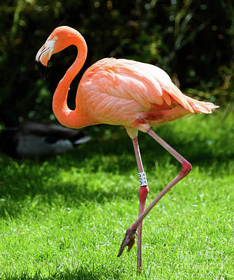 Photograph - American Flamingo by Colin Rayner