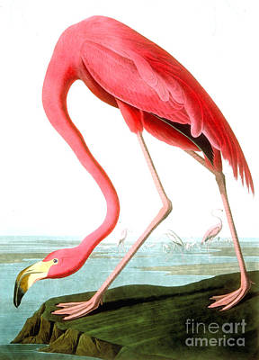 Feathers Painting - American Flamingo by John James Audubon