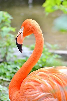 Photograph - American Flamingo by Kim Bemis