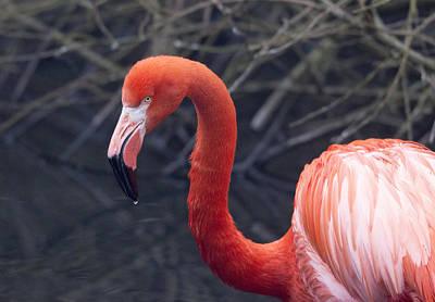 Photograph - American Flamingo by Pietro Ebner