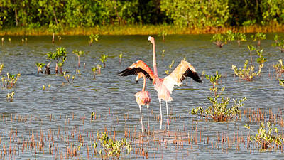 Photograph - American Flamingos In Cuba by David Beebe