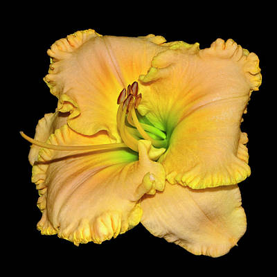 Photograph - American Freedom Daylily 001 by George Bostian