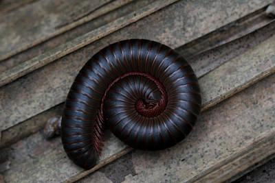Photograph - American Giant Millipede by April Wietrecki Green