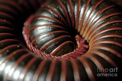Photograph - American Giant Millipede by Michael Eingle