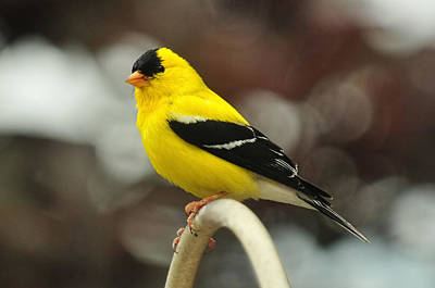 Photograph - American Gold Finch by Lara Ellis