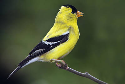 American Golden Finch Art Print by William Lee