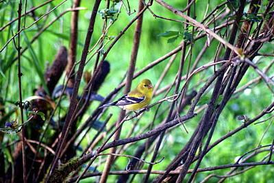 Photograph - American Goldfinch #1 by Ben Upham III