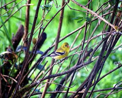 Photograph - American Goldfinch #1 Crop 2 by Ben Upham III
