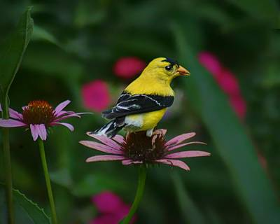 American Goldfinch - 1 Print by Nikolyn McDonald