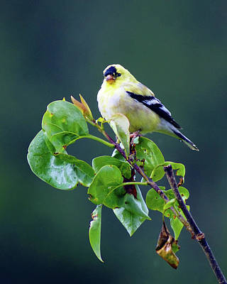 Photograph - American Goldfinch #10 by Ben Upham III