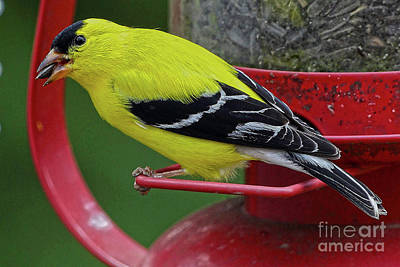 American Goldfinch #2 Art Print by Alan Look