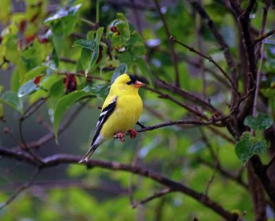 Photograph - American Goldfinch #2 by Ben Upham III